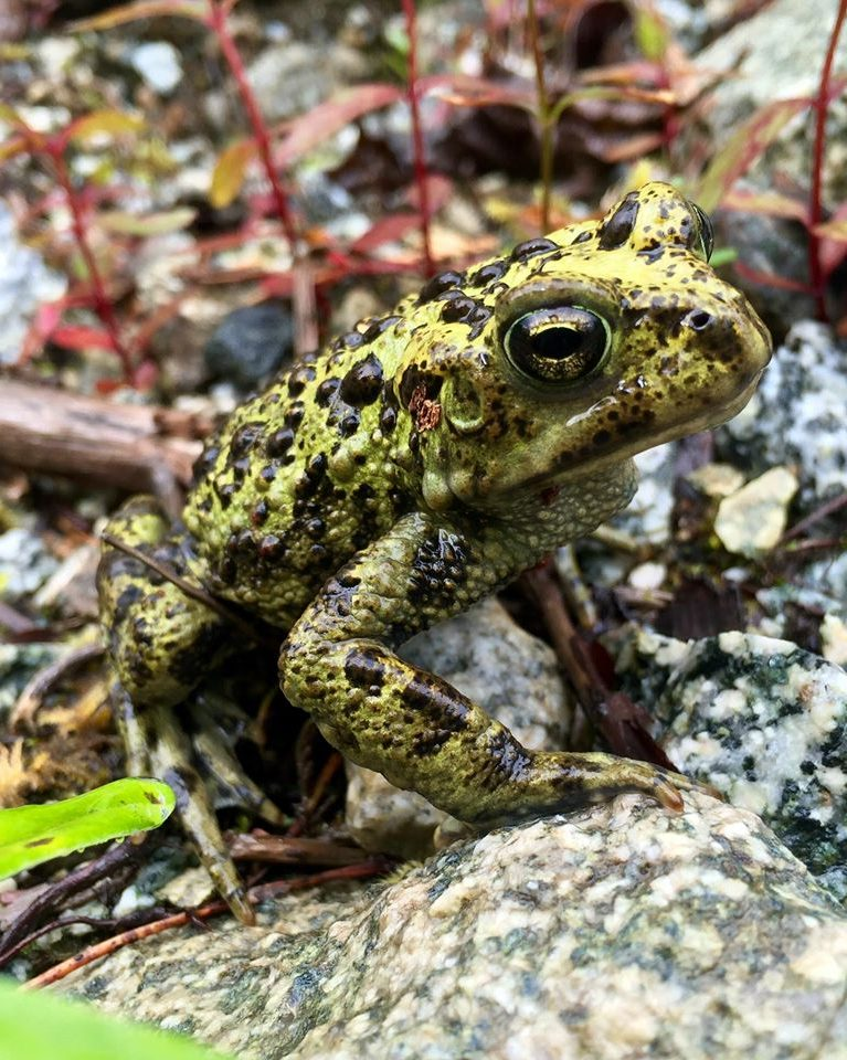 The Western toad is a very common toad here in the Pacific Northwest