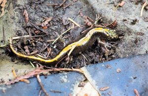 The Long Toed Salamander can be found all along the Pacific Northwest