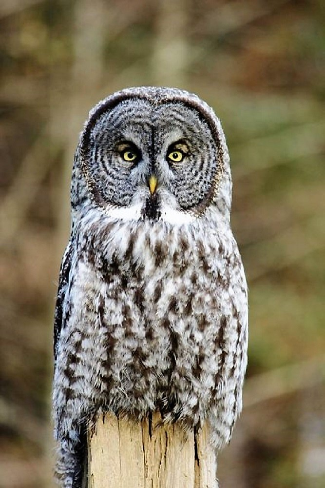 Although the Great Gray Owl appears to be quite large, they are mostly feathers, they usually weigh in at around 1 to 1.5 kilos or about half the weight of its smaller cousin, the Snowy Owl.