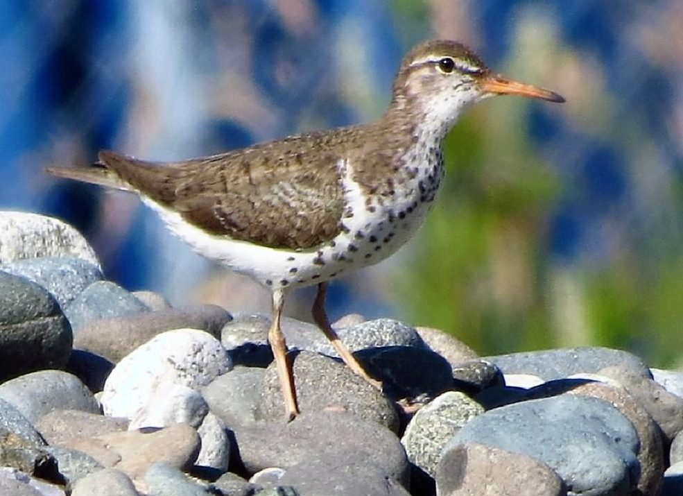A Spotted sandpiper standing on a beach on Vancouver Island, sometimes you will see these birds in very large flocks
