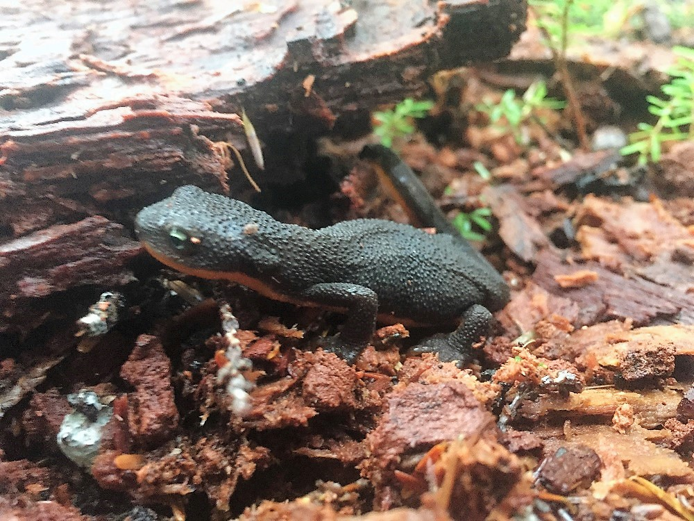 Rough Skin Newt, Vancouver Island, BC
