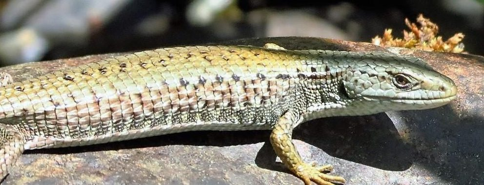 The Northern Alligator Lizard is quite common on southern Vancouver Island