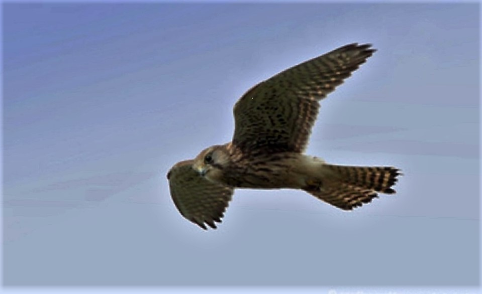 The American Kestrel is often seen, just at dusk, hunting on the edge of fields and meadows