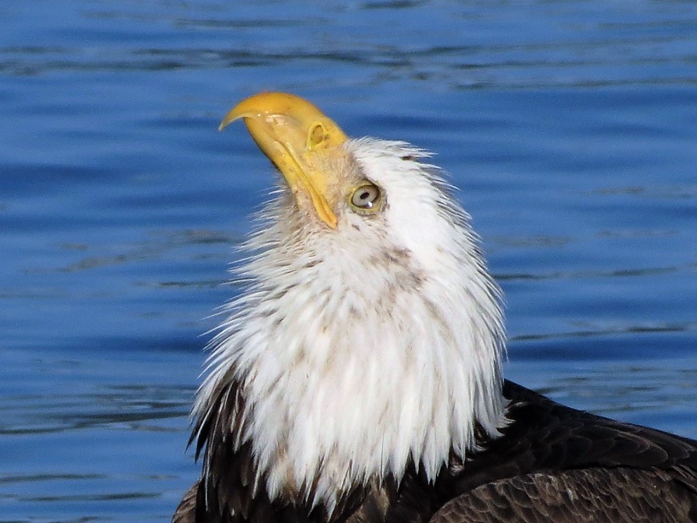 The bald eagle will build huge nests made of sticks and will quite often return to the same nest year after year.