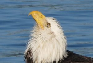 Eagles are birds of prey and are a very common sight in the Pacific Northwest