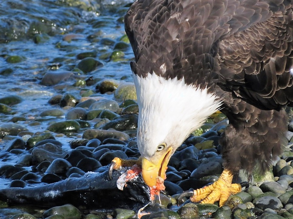 Eagles are fish eaters, they gather along our rivers in vast numbers during the salmon spawn