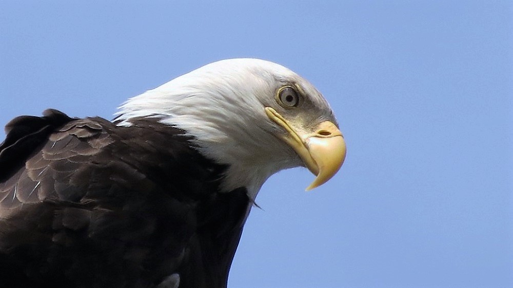 Bald Eagles are quite common on the Pacific Northwest Coast