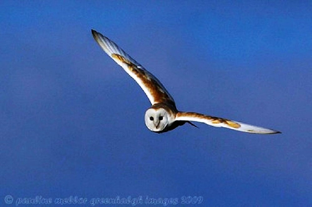 The Barn Owl is a fairly small owl with a max body length of 50 cm, a wingspan of just over 1 meter, and weighs up to 1.5 kilos.