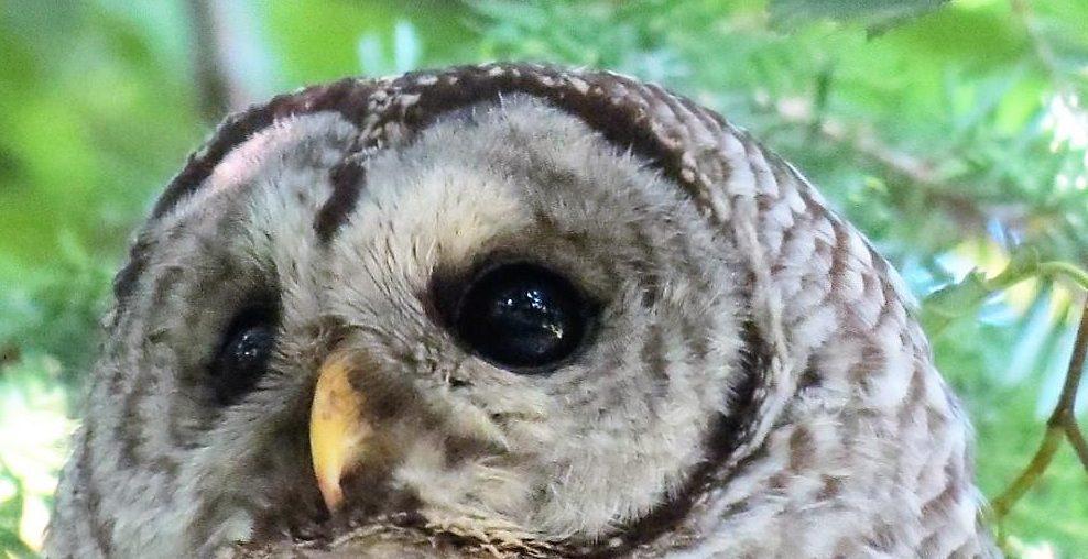 Barred Owl, Birds Of Prey, Birds, Vancouver Island, BC Coastal Region, Pacific Northwest
