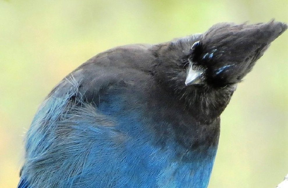 A Blue Jay, (Steller Jay) giving me a pretty good looking over, these birds are quite curious