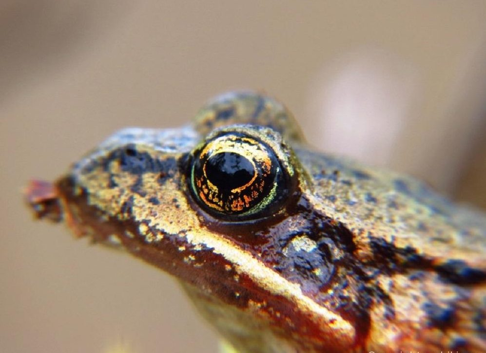 Bronze Frog is a common sight in the Pacific Northwest