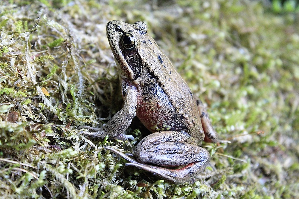 The Bronze Frog is common on the BC coast but is considered invasive on Vancouver Island