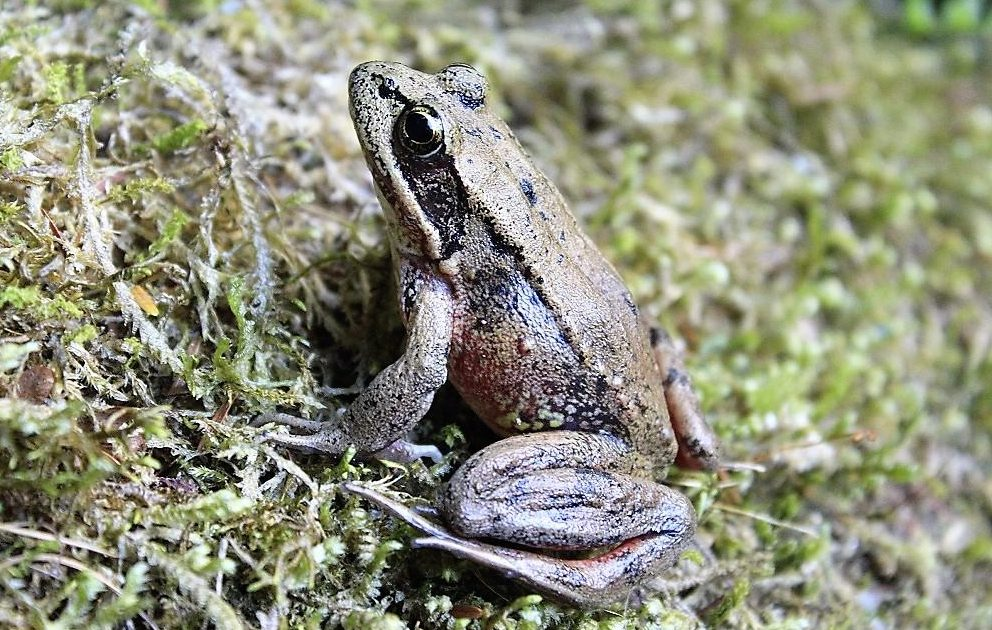 A Bronze Frog on Vancouver Island. Bronze Frogs are common Amhibians on the shores of the Pacific Northwest