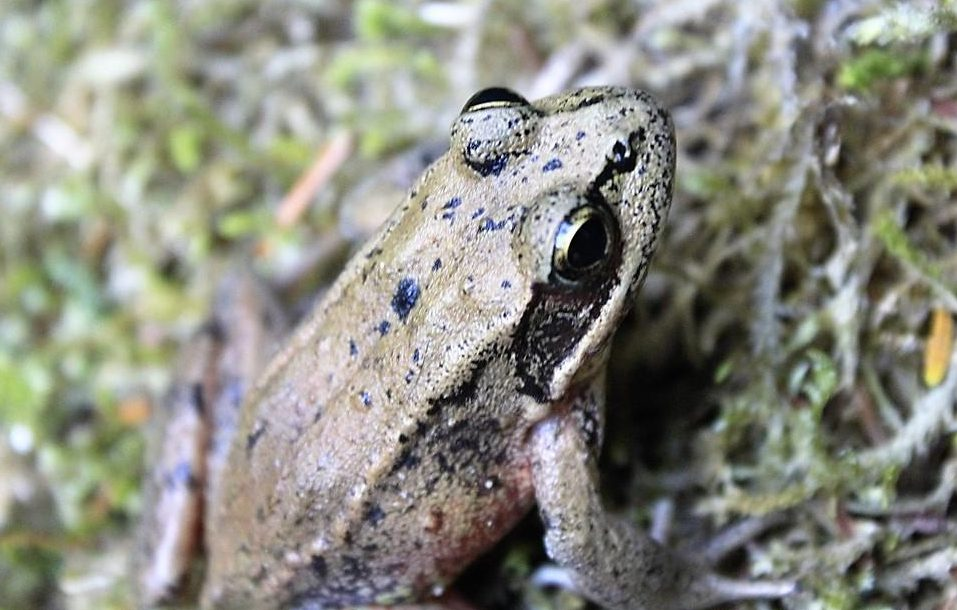 The Bronze Frog can be found along most streamsponds and lakes in the Pacific Northwest