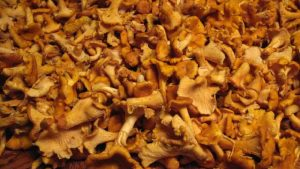 Chanterelle Mushrooms picked fresh are delicious