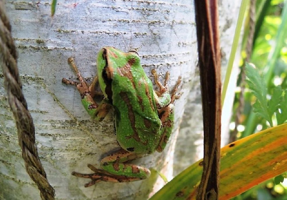 The Pacific Chorus Frog is commonly seen in trees