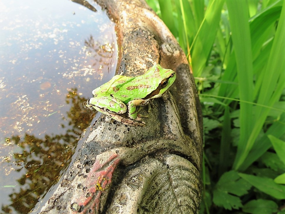The Pacific Chorus Frog is a beautiful frog.