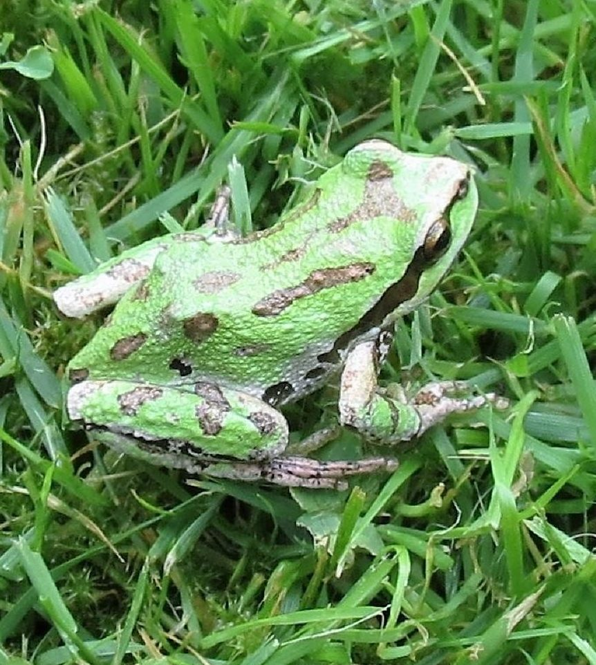 The Pacific Chorus Frog is a very common type of frog here in the Pacific Northwest