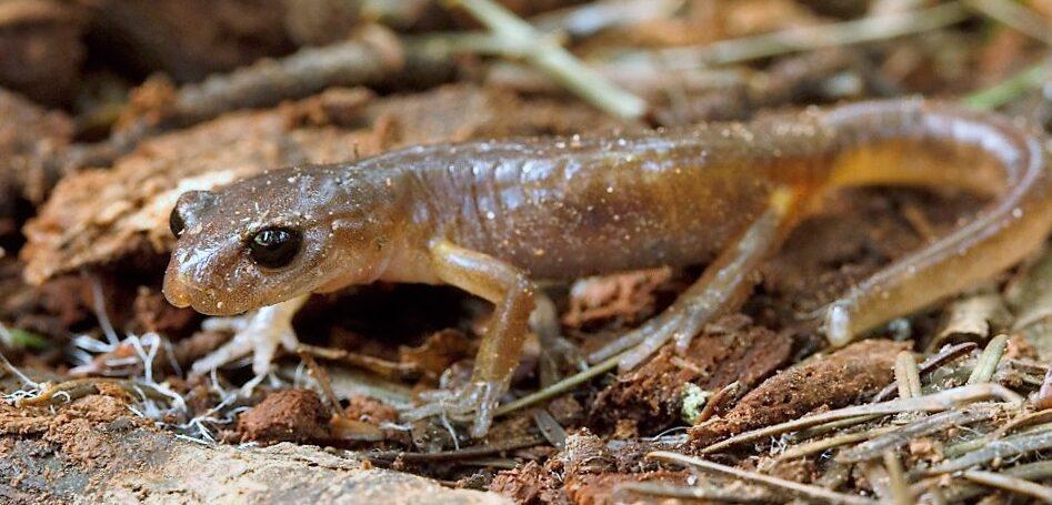 Common Ensatina Salamander, Vancouver Island BC