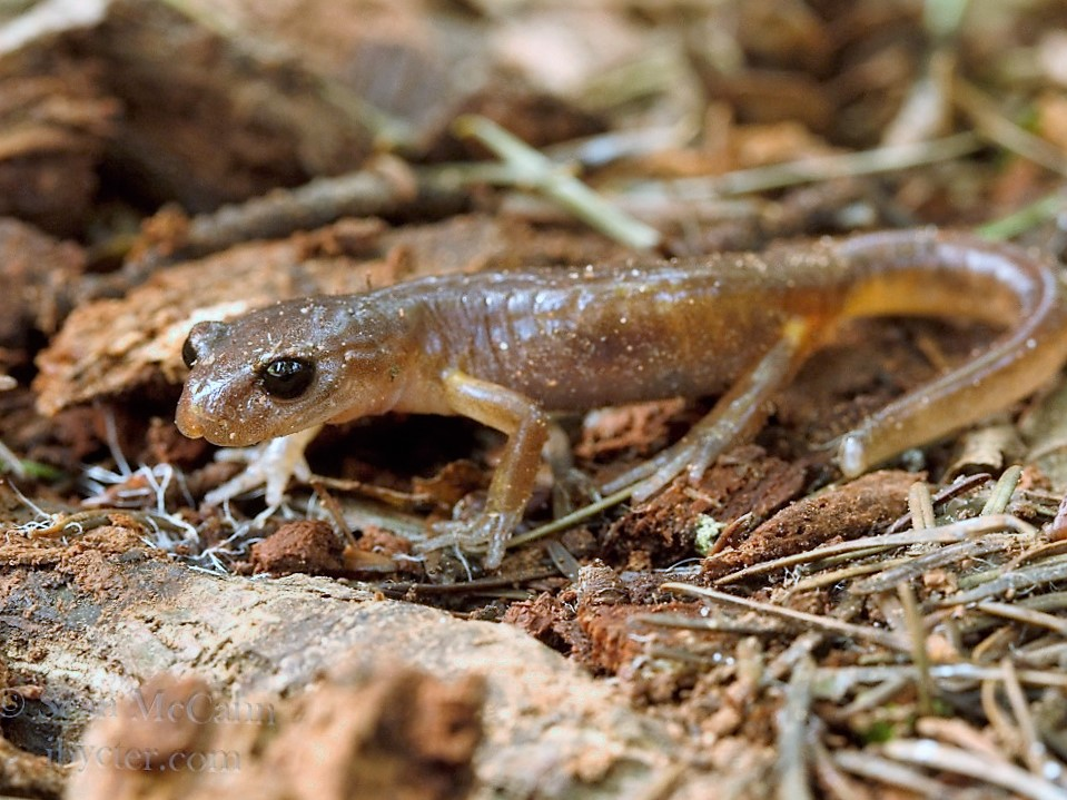 The Common Ensatina Salamander lives its whole life on the B.C. coastal rain forest floor