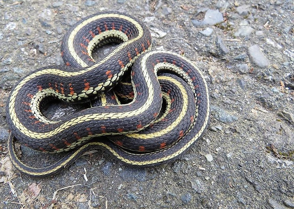 The Common Garter Snake can be found in most of the Pacific Northwest.