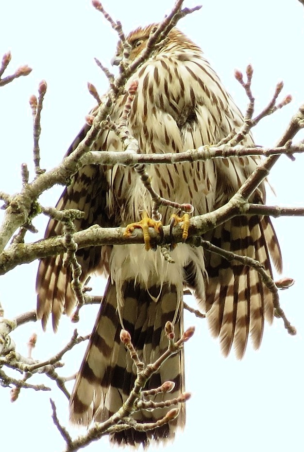 The Coopers Hawk is a very beautiful bird, and a great hunter