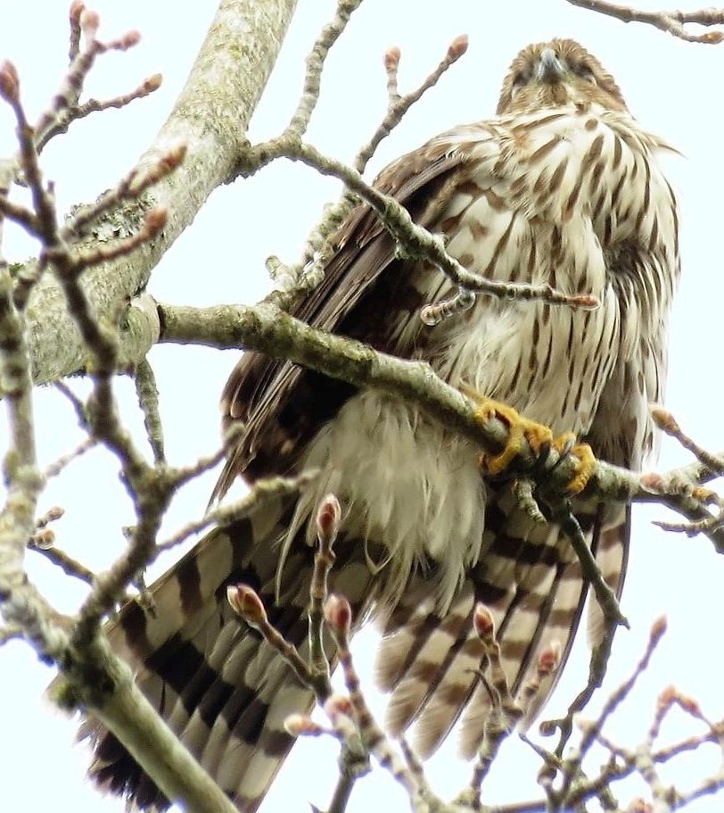 The Cooper's Hawk took a liking to the farm chicken and they became known as the chicken hawk.