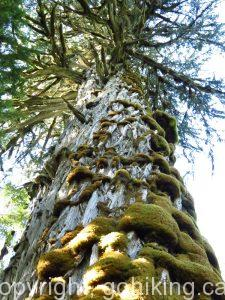 Trees, Giant Trees, Big Trees, Vancouver Island, B.C. Coastal Region