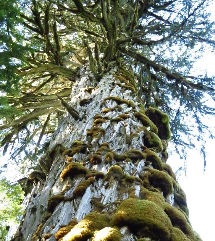 Giant Yellow Cedar Cypress). Trees, Pacific Northwest