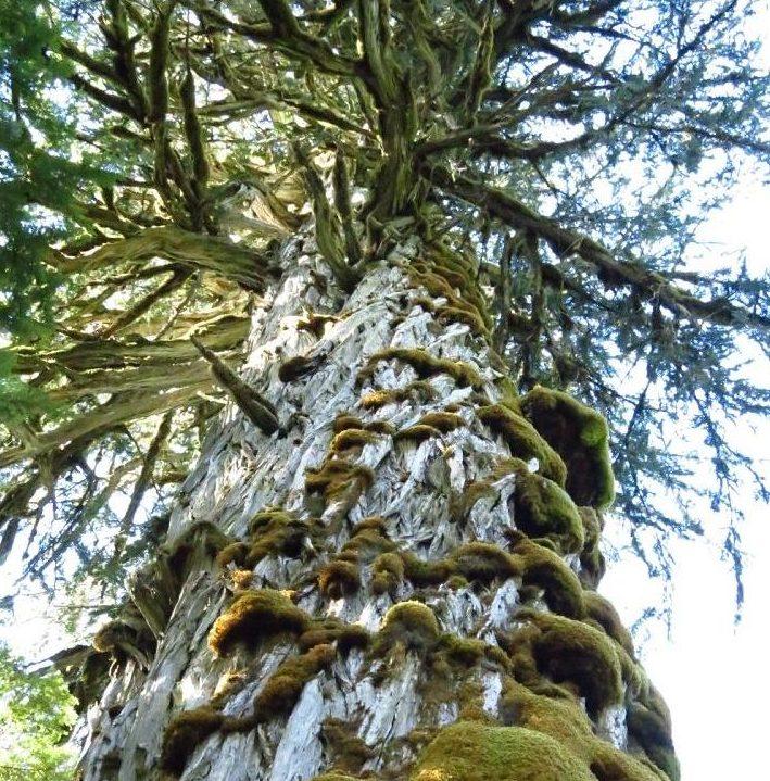 Trees, Giant Trees, Big Trees, Vancouver Island, B.C. Coastal Region