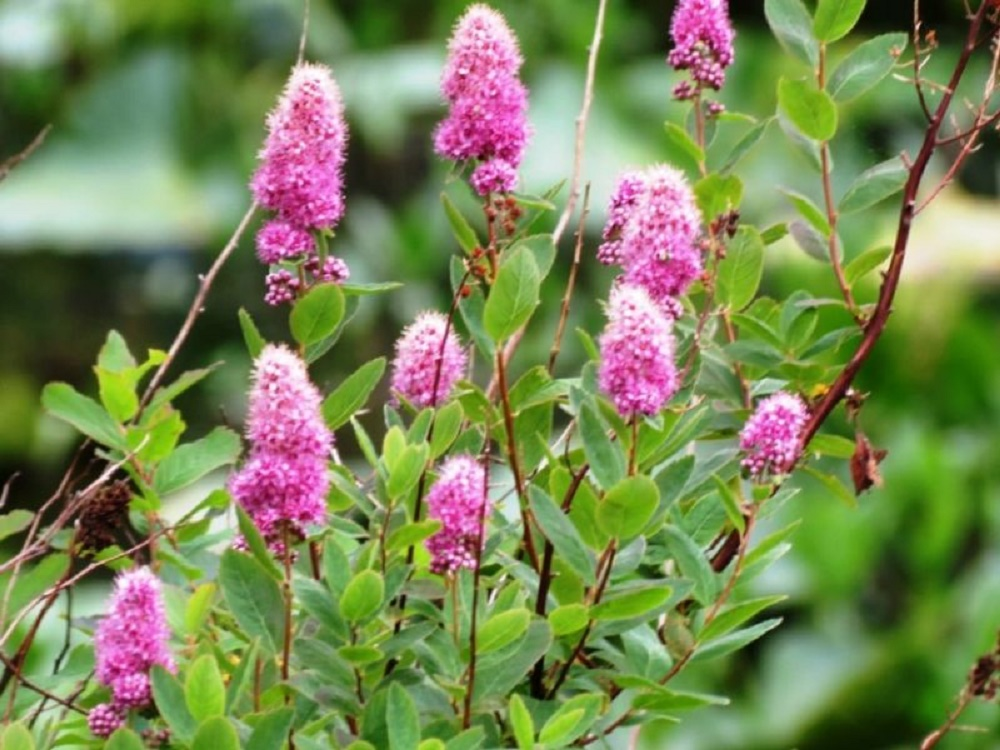 The Douglas Spirea Plants are Very Common The Coast Of BC