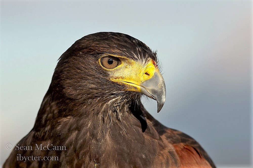 The golden eagle typically hunts in dry, rugged open country and grasslands, over which it soars in search of small mammals and other prey.