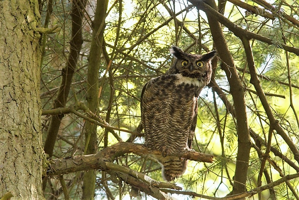 The Great Horned Owl is a large bird standing up to 70 cm tall with a wingspan up to 160 cm. Males and females are similar in appearance, except the female is a wee bit larger.