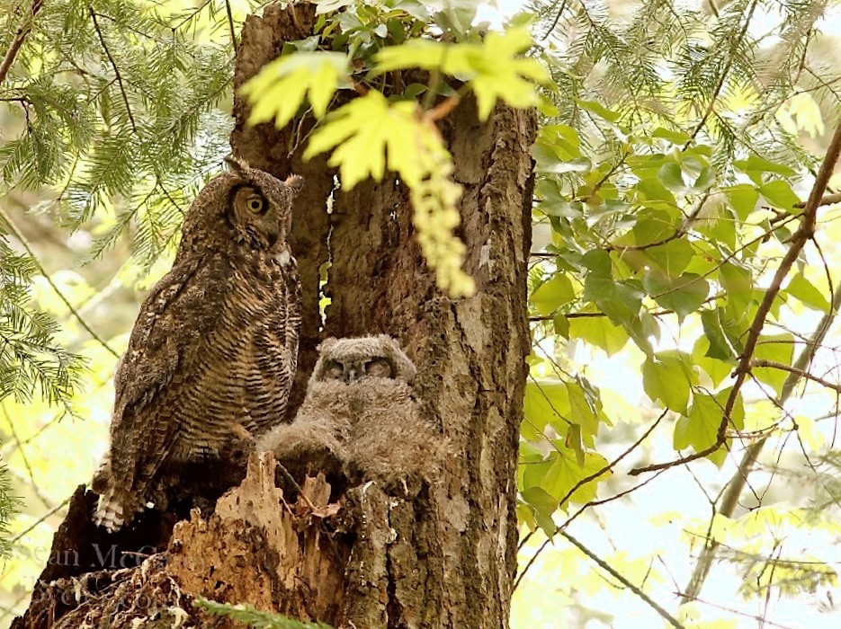 The Great Horned Owl can live to 12 or more years and some captive birds have reached more than 30 years old.