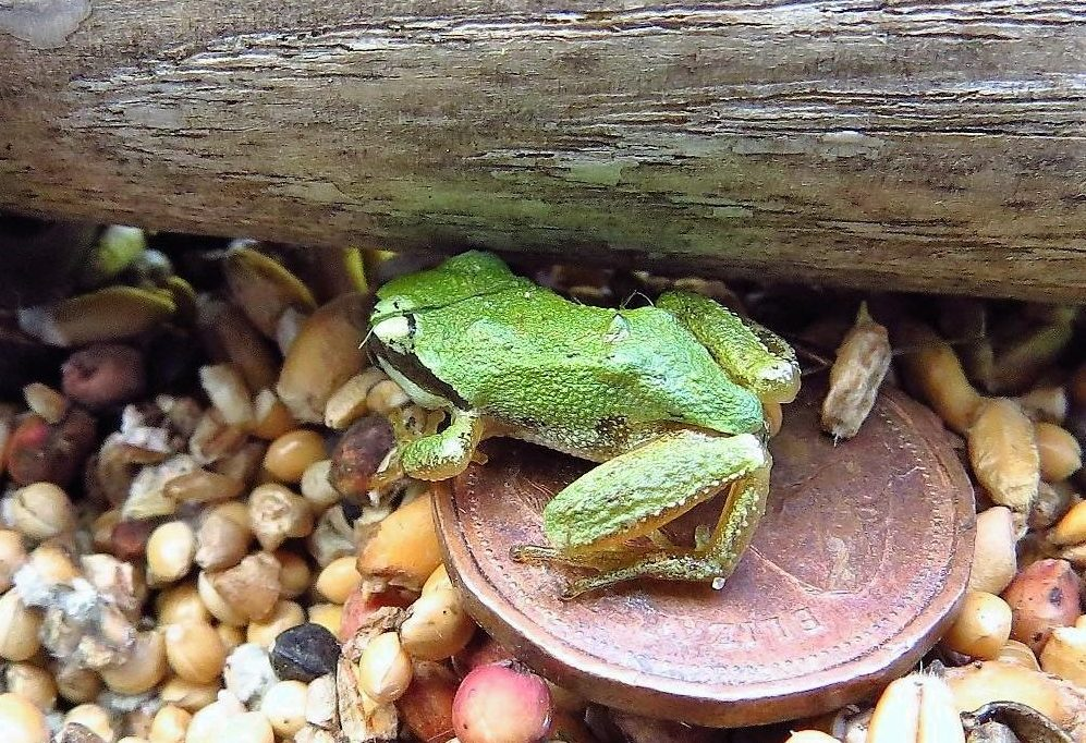 The Green Tree Frog when full grown is still smaller than a penny, it is quite common in the Pacific Northwest