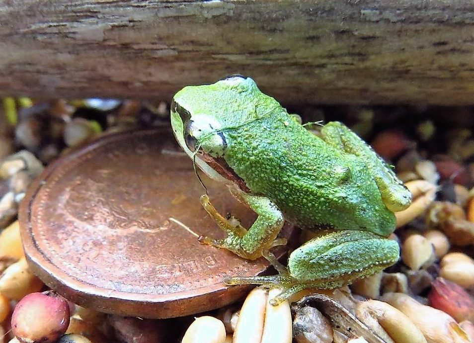 Green Tree Frogs are common Amphibians on Vancouver Island