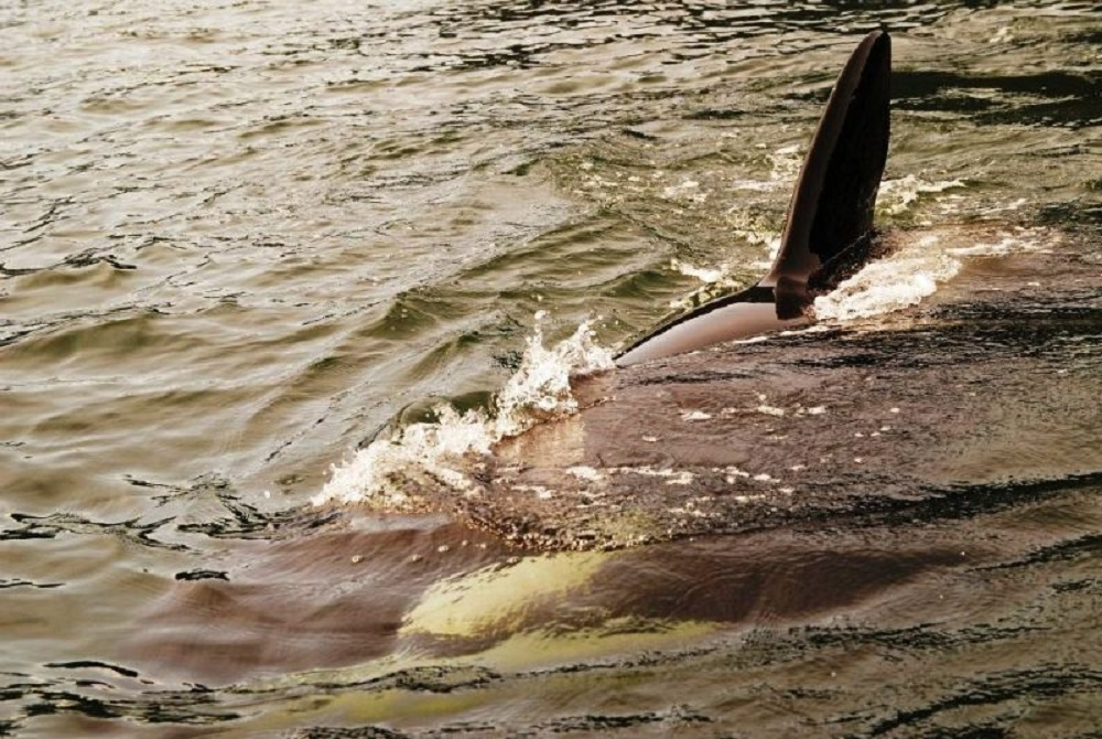 Killer Whales are also known as Orcas, they are a common animal of the Pacific Northwest waters