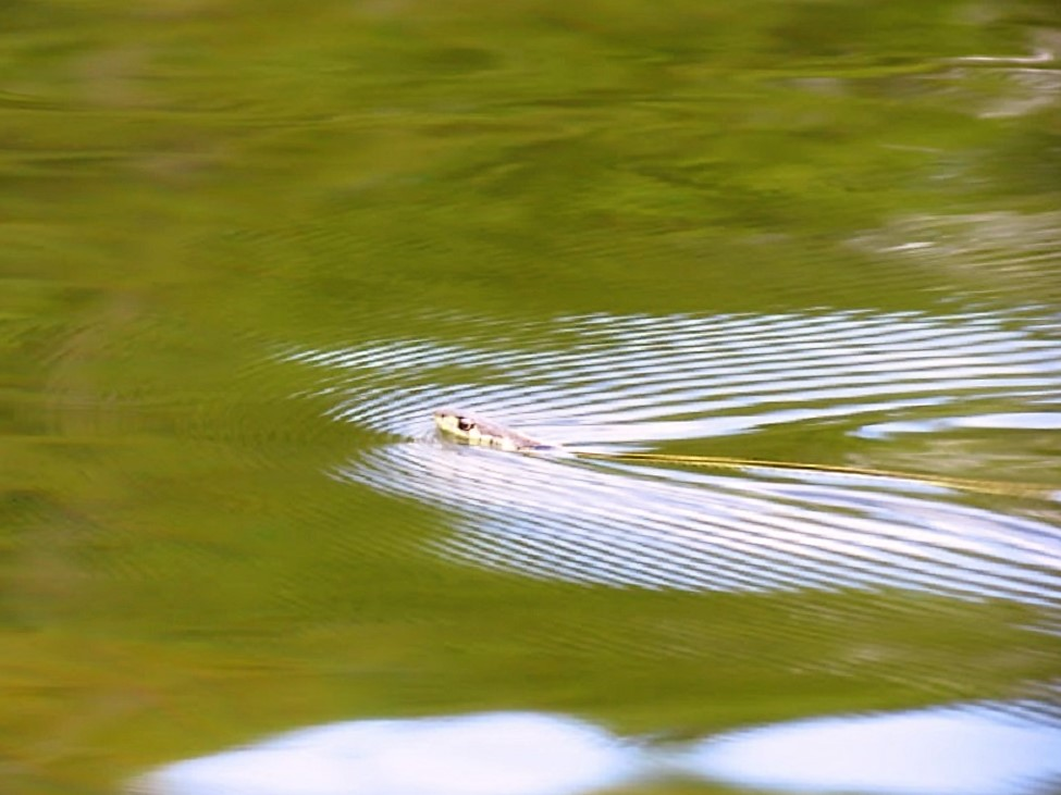The Northwestern garter snake loves being in water, we see them swimmer all the time
