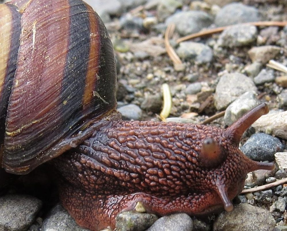 Oregon Brown Snail on Vancouver Island, gastropods are one of the animals of the Pacific Northwest