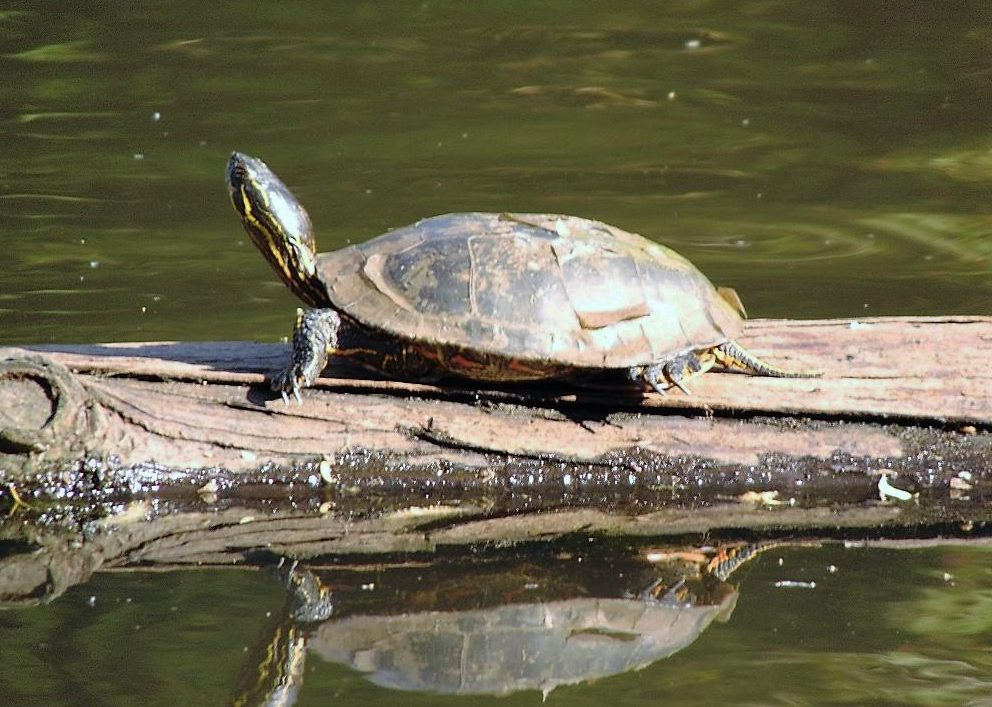 Turtles live mainly in water, there are about 250 species.  Some can live up to 150 years or more.