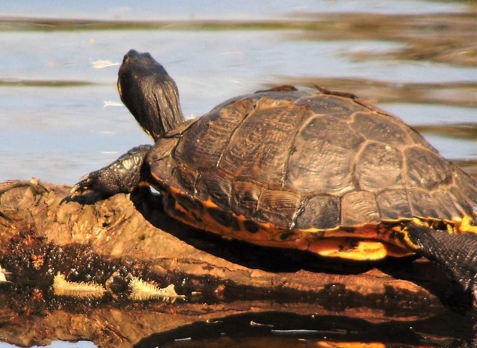 The Painted turtle feeds on frogs, tadpoles, insects and snails and a variety of aquatic plants. Young turtles are mostly carnivorous but tend to eat more plant life as they age.