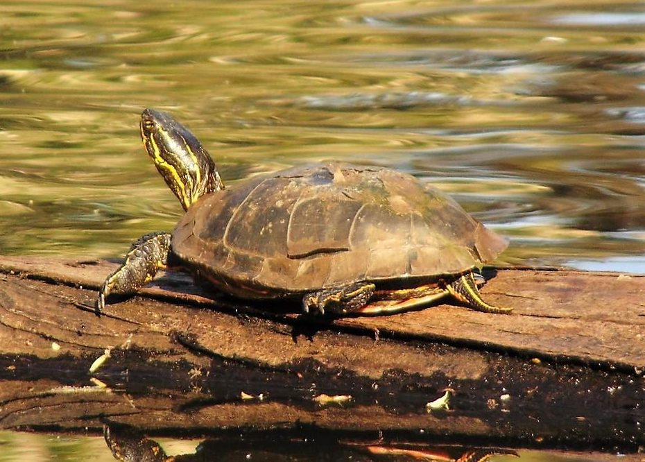 Painted Turtle, Vancouver Island, BC