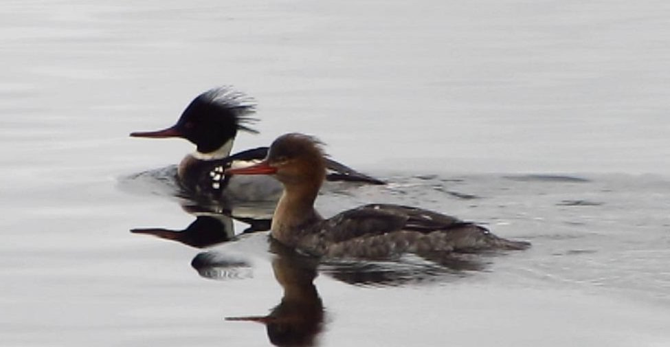 A pair of Red Breasted Merganser ducks swimming together, Ducks are common animals on our coast