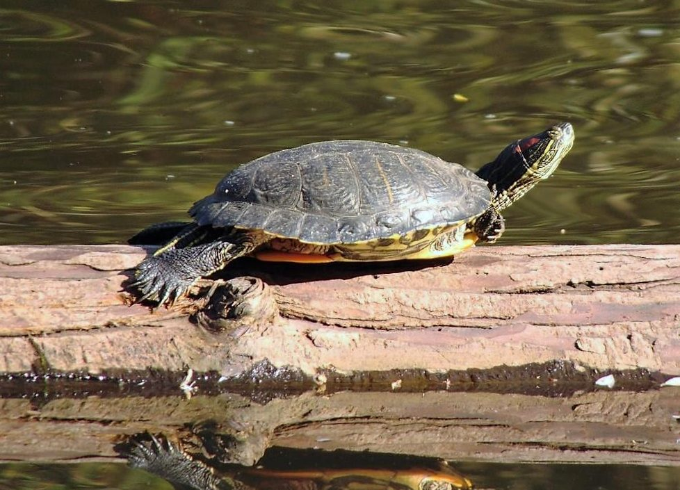 The Red Eared Slider Turtle looks similar to the painted turtle. The top shell of the red eared turtle is higher domed than that of the western painted turtle and is weakly keeled