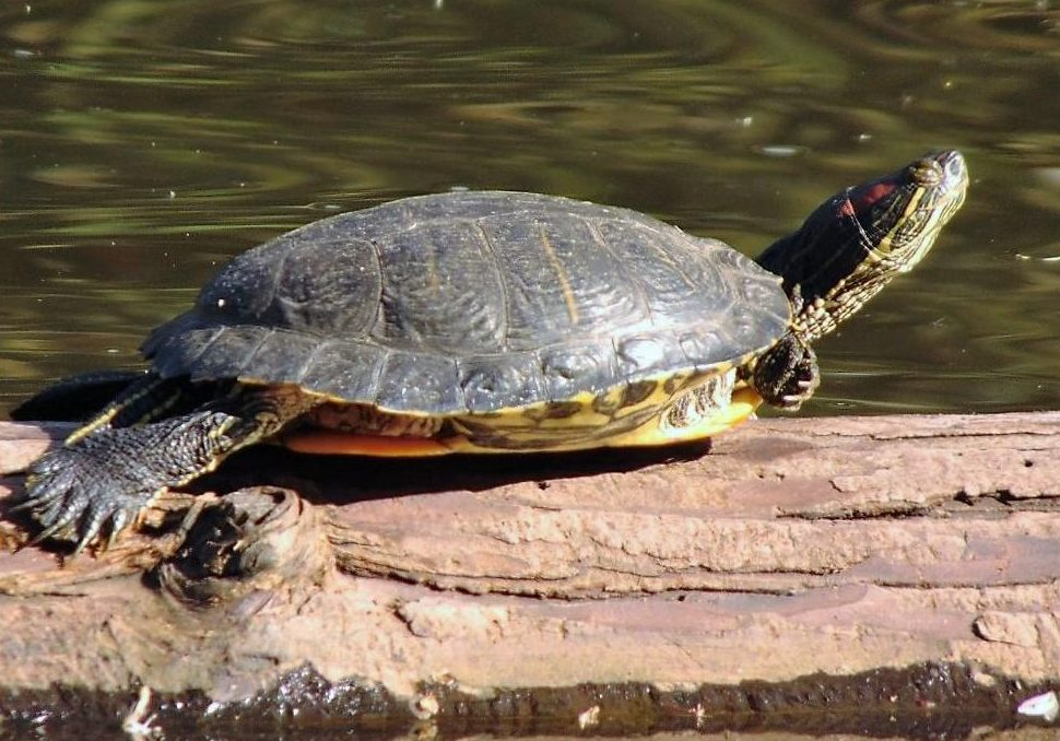 The Red Eared Slider Turtle feeds mainly on plants and small animals, such as crickets, fish, crayfish, snails, tadpoles, worms, aquatic insects, and aquatic plants.