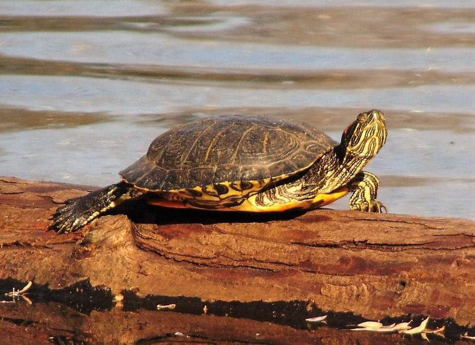 The red eared turtle is an invasive species on Vancouver Island and could spell trouble for our painted turtle. Most have been released into the wild from people who purchased them as pets