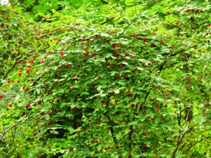 Red Huckleberry Plants produce a great fruit that is very edible