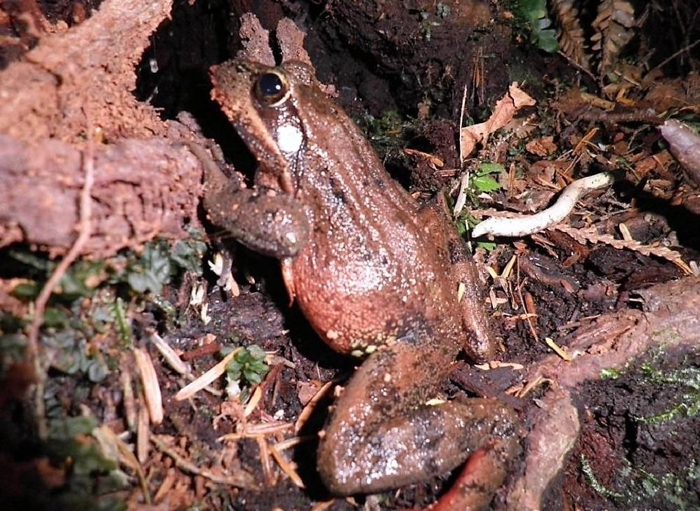 The Northern Red Legged Frog has a deep and loud voice that almost sounds like it is growling