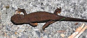 Rough skin newts can appear quite chubby compared to other salamanders, partly because they lack the grooves along the body that are present in most other salamander species.