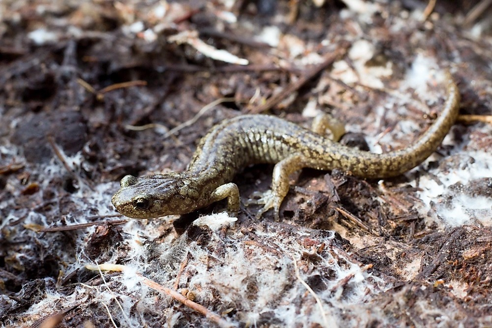 The Wandering Salamander was originally only found in California, but now can be found on Vancouver Island.